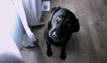 a black dog looking confused inside a home